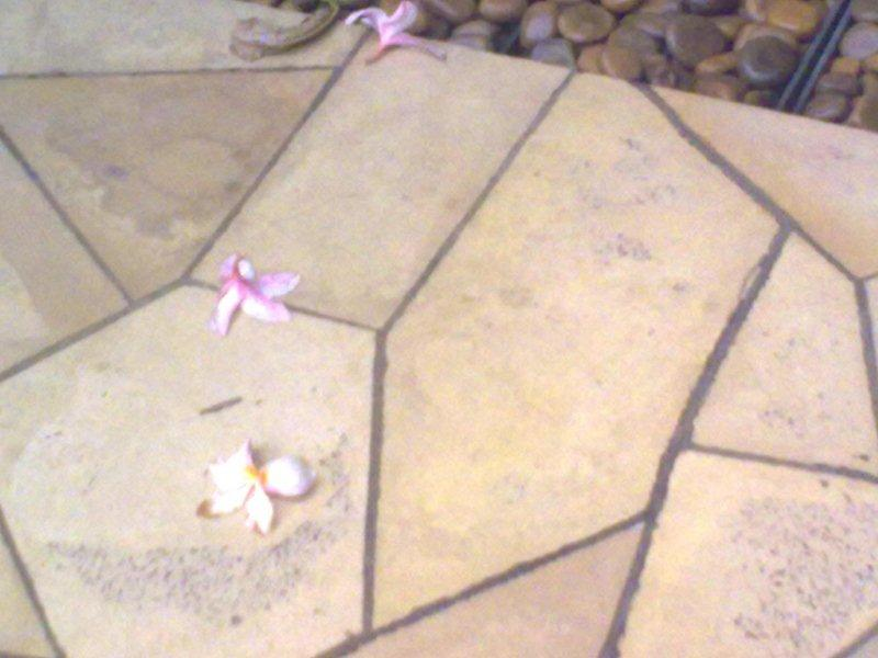 Fallen Frangipani Flowers